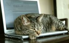 A Relaxed cat on a Laptop