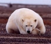 A sad polar bear
