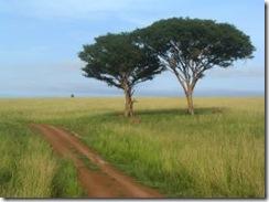 uganda_tree