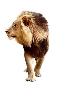 lion_walk