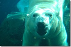 polar_bear_underwater